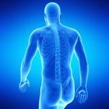 The upper body anatomy royalty free illustration