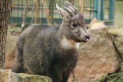 Central Chinese goral stock images