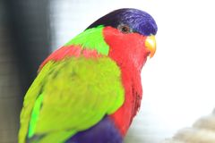 Collared lory. The upper body of collared lory Stock Photo