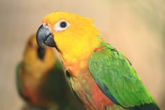 Double yellow-headed amazon Royalty Free Stock Image