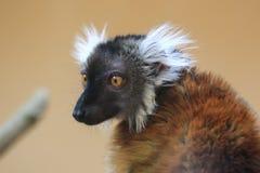 Black lemur. The upper body of female black lemur Stock Photos