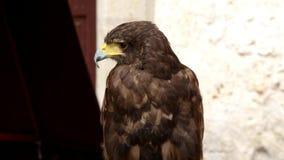 Harris`s hawk parabuteo unicinctus stock video footage