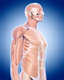 The upper body muscles. Medically accurate illustration of the upper body muscles Stock Photos