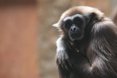 Pileated gibbon. The upper body of pileated gibbon Stock Photo