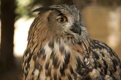 Real owl - bubo bubo Stock Image
