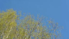 The upper branches of birch trees with young leaves swaying in the wind against the blue sky. Bright green leaves on sky background shakes the wind stock footage