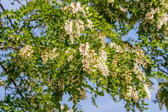 The upper branches of the black locust Robinia pseudoacacia in flowers. Blue sky backround Royalty Free Stock Photography