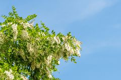 The upper branches of the black locust Robinia pseudoacacia in flowers. Blue sky Royalty Free Stock Photography