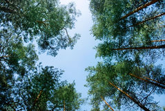 Upper branches of green pine trees at the forest near baltic coast, St. Petersburg Royalty Free Stock Image