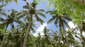 Upper Branches of Palm Trees against the Blue Sky. Shooting from the Bottom. Sunny day in a palm grove. Blue sky with clouds. Shooting from the bottom stock video footage