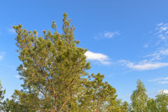 Upper branches of pine on background blue sky. Upper branches of pine on a background of blue sky Stock Photos