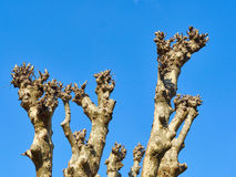 Upper branches of a plane tree (platanus)  pollarded completely Royalty Free Stock Image