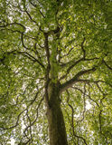 Upper branches of tree. The natural look of the crown Stock Photo