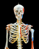 Upper half of human skeleton on white Stock Photography