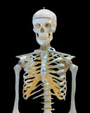 Upper half of human skeleton on white Royalty Free Stock Image