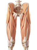 The upper leg muscles Stock Photo