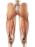 The upper leg muscles. Medical accurate illustration of the upper leg muscles vector illustration