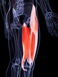 The upper leg musculature Royalty Free Stock Images