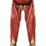 Upper Legs Muscles Anatomy Royalty Free Stock Photos