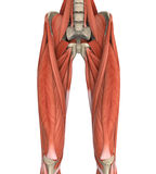 Upper Legs Muscles Anatomy Royalty Free Stock Photo