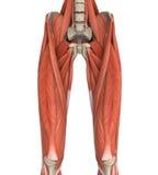 Upper Legs Muscles Anatomy. Illustration. 3D render vector illustration
