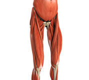 Upper Legs Muscles Anatomy Royalty Free Stock Photography