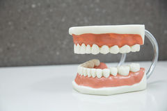 Upper and lower jaw dental model Royalty Free Stock Photography