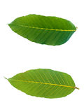 Upper and lower of leaf. On white background Royalty Free Stock Image