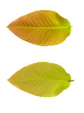Upper and lower of leaf. On white background Royalty Free Stock Photography