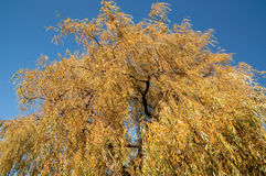 Upper part of the Golden Weeping Willow in Autumn Royalty Free Stock Photography