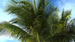 Upper portion of palm trees in breeze. Slow pan through upper portion of palm trees in breeze stock video