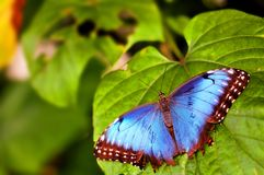 Upper side of Blue Morpho butterfly Stock Photography