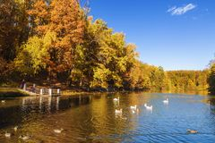 Upper Tsaritsyn pond with floating ducks, geese and swans in autumn. Tsaritsyno Museum-reserve. Moscow. Russia royalty free stock image