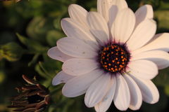 Upper view of beautiful blooming white flower with orange pistils in light of sunset Stock Images