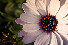 Upper view of beautiful blooming white flower with orange pistils in light of sunset Royalty Free Stock Photos