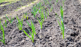 Upper view of the planting garlic. The raws of garlic planting royalty free stock photo