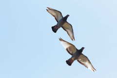 Upper wing of homing pigeon bird flying against clear blue sky Royalty Free Stock Photos