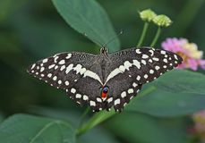 Chequered Swallowtail Stock Photography