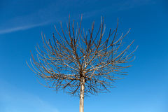 Upperen förgrena sig trädet Fotografering för Bildbyråer