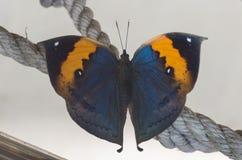 Uppersidemening van Kallima-inachus, de oranje oakleaf vlinder Stock Foto's