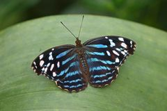Blue banded Purplewing Royalty Free Stock Photos