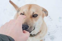 Uppförande av en hund i vintern på gatan, olydnad till ägaren arkivfoto