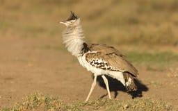 Uppförande för Kori Bustard visningskärm, Serengeti nationalpark, Royaltyfri Bild