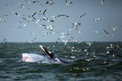 Uppförande val för Bryde ` s äter ansjovisfiskar under vågen och Royaltyfri Bild