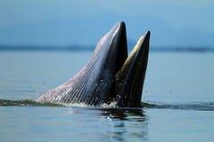Uppförande val för Bryde ` s äter ansjovisfiskar under vågen, P Royaltyfri Fotografi