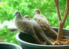 Uppfostra fågeln och behandla som ett barn fågeln av den lösa sebraduvafamiljen som tillsammans kopplar av royaltyfri bild