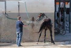 Uppfriskande häst efter travsport Royaltyfri Foto