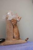Upphetsad strimmig kattkatt Arkivbild