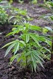 Uppkomsten av cannabis royaltyfri foto