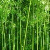 upplösning för jpg för bambudunge hög Ljust - gröna spensliga stammar Fotografering för Bildbyråer